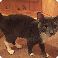 Domestic Shorthair Kitten for adoption in Baltimore, Maryland - Winston (Ghostbusters)