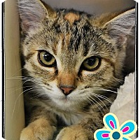 Adopt A Pet :: Tiger Lilly - Seville, OH