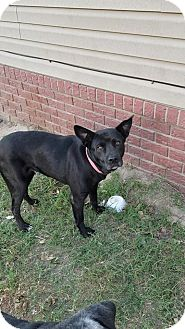 Shepherd (Unknown Type)/Labrador Retriever Mix Dog for adoption in Manchester, Connecticut - Amber