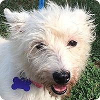 Adopt A Pet :: Snowball - Lexington, KY