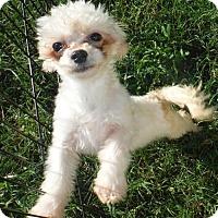 Adopt A Pet :: Chrissy - Flanders, NJ