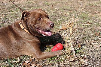 Labrador Retriever Mix Dog for adoption in Greensboro, North Carolina - Harry
