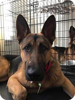 German Shepherd Dog Dog for adoption in Kansas City, Missouri - Malcolm