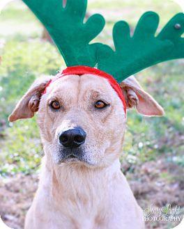 Labrador Retriever Mix Dog for adoption in Monroe, North Carolina - Luke