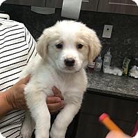 Adopt A Pet :: Ewok - Thousand Oaks, CA