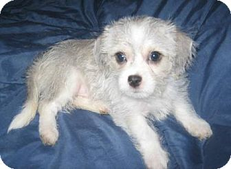 Shih Tzu/Chihuahua Mix Puppy for adoption in Glendale, Arizona - Wolfie