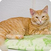 Adopt A Pet :: Orangesicle 13136 - Atlanta, GA