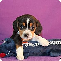 Adopt A Pet :: Dean - Broomfield, CO