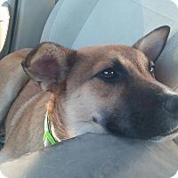 Adopt A Pet :: Archer - Tampa, FL