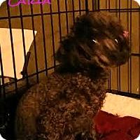 Adopt A Pet :: Carla - House Springs, MO
