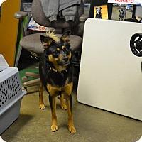 Adopt A Pet :: Stitch - Lake Odessa, MI