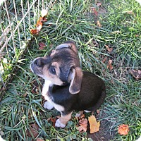 Adopt A Pet :: Shyla - West Warwick, RI