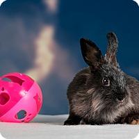 Adopt A Pet :: Dazzle - Marietta, GA