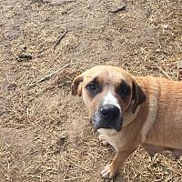 Anatolian Shepherd Mix Dog for adoption in chicago, Illinois - Rebecca