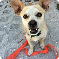 Adopt A Pet :: Coco - Bradenton, FL