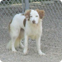 Adopt A Pet :: Brittany - Clear Lake, IA