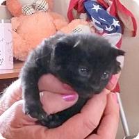Domestic Mediumhair Cat for adoption in Lemoore, California - Pistachio