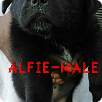 Adopt A Pet :: Alfie (has been adopted) - Buffalo, NY