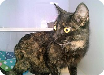 Domestic Shorthair Cat for adoption in Columbia, South Carolina - Jade