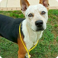 Australian Cattle Dog Mix Dog for adoption in Fredericksburg, Texas - Deputy