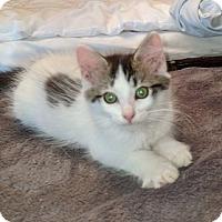 Adopt A Pet :: Cressida - Woodstock, ON