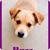 Adopt A Pet :: PUPPY - Buzz!! - Lincoln, CA