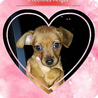 Chihuahua/Chihuahua Mix Puppy for adoption in San Bernardino, California - Precious Angel