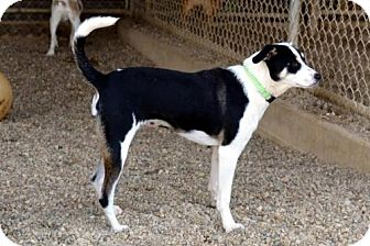Rat Terrier Mix Dog for adoption in Lacon, Illinois - Pippi