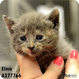 Domestic Mediumhair Kitten for adoption in Conroe, Texas - ELMA
