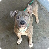 Pit Bull Terrier Mix Dog for adoption in Durham, North Carolina - Bella