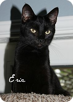 Bombay Cat for adoption in McKinney, Texas - Eric