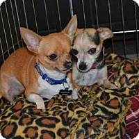Adopt A Pet :: Bella - Deerfield Beach, FL