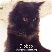 Adopt A Pet :: Jibboo aka Boo - South Bend, IN