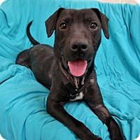 Adopt A Pet :: ELLIE - Boston, MA