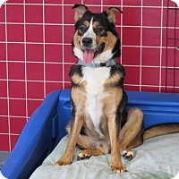 Adopt A Pet :: Harvey - Indianapolis, IN