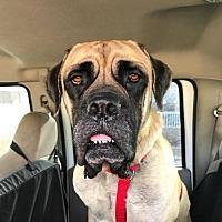 Adopt A Pet :: Tyson - Denver, CO