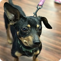 Adopt A Pet :: Schultzie - Coppell, TX