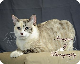Siamese Cat for adoption in Crescent, Oklahoma - Candy