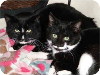 Domestic Shorthair Cat for adoption in Putnam Valley, New York - Buster