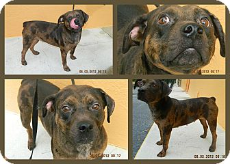 Catahoula Leopard Dog Mix Dog for adoption in hollywood, Florida - Bubbles