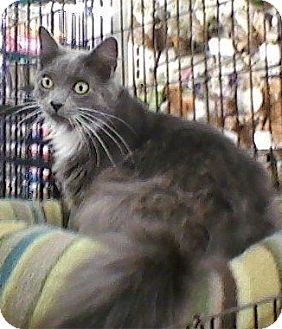 Domestic Mediumhair Cat for adoption in Bear, Delaware - Elliott