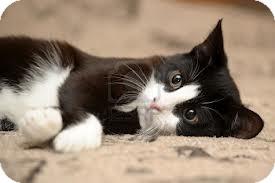 Domestic Shorthair Cat for adoption in Lancaster, Massachusetts - Camille