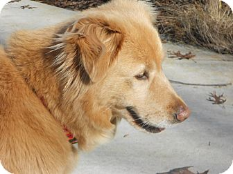 Golden Retriever Mix Dog for adoption in West Bridgewater, Massachusetts - Francis