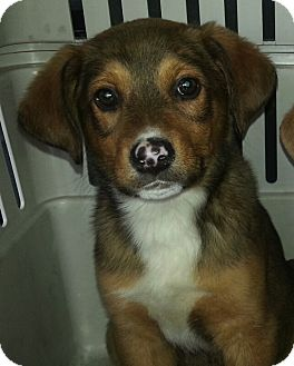 Labrador Retriever/Collie Mix Puppy for adoption in Chicago, Illinois - Seth(PENDNG!)
