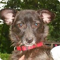 Adopt A Pet :: KatieMac - Raleigh, NC