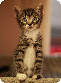 maine coon kittens for sale in ga