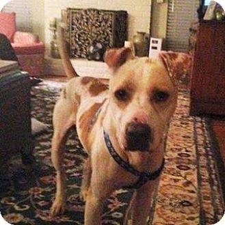 American Bulldog/Labrador Retriever Mix Dog for adoption in Sacramento, California - Charlie, dream dog and trained