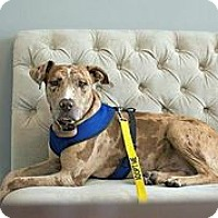 Adopt A Pet :: Leonardo da Vinci - Austin, TX