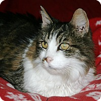 Domestic Longhair Cat for adoption in Port Angeles, Washington - Lover Boy