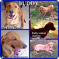 Adopt A Pet :: Buddy Adoption pending - Manchester, CT